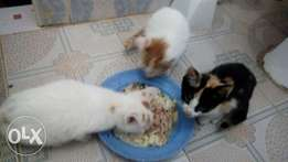 Kitten for sale breeded ( kenyan and congo)