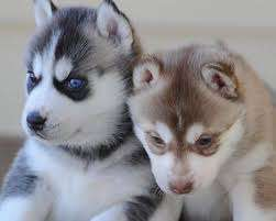 Blue-eyed Siberian Husky puppies ready for new owners