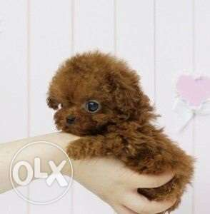 Teacup Poodle puppies available to join their new homes