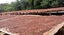 Cocoa, fresh and natural from Cocoa farm
