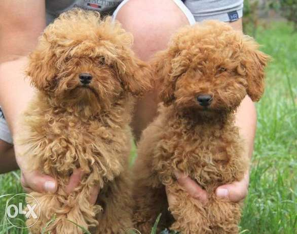imported toy poodle from ukrain