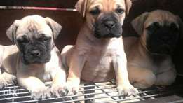 pure breed Boerboel puppies are available for sales