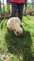 Nakshi agencies, lambs and ewes for sale.