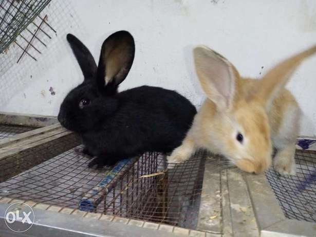 Rabbit giant Holland male and female