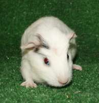 Beautiful Baby Guinea Pigs Boars For Sale
