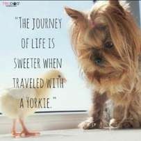 Looking for a exotic yorkie