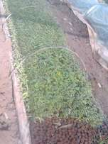 Namuza seedlings