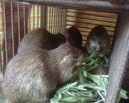 Grass cutle for sale family for 30.5000