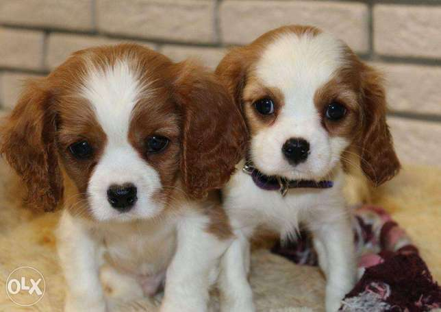"""Imported Cavalier King Charles """"Premium Quality"""""""