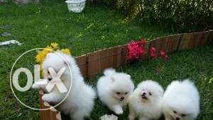 Sweet Pomeranian puppies available for adoption