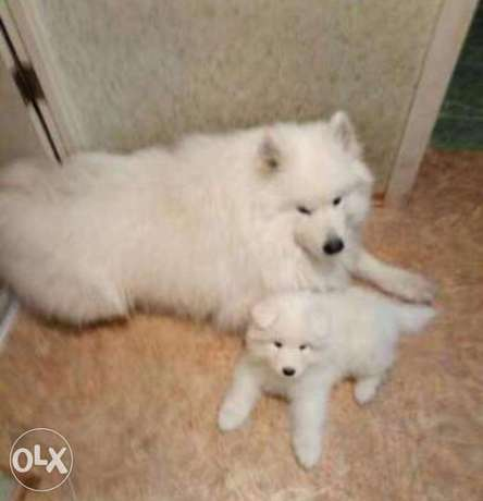 Imported samoyed puppies.. Premium quality with all documents