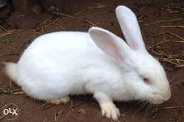 Rabbits for quick sale