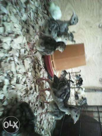 Day old to 1 month old turkeys Kajiado Town - image 3