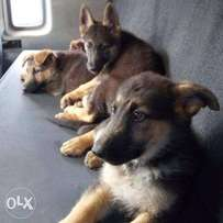Selling German Shepherd puppies