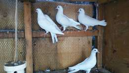 White pigeons available for sale