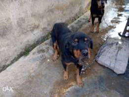 Adult Female Rot for sale