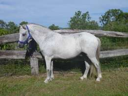 Quiet welsh mountain pony gelding