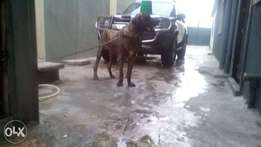 14months old male brindle boerboel for sale.