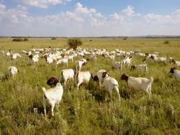 Great weight quality Live Sheep Goats lamps dorpers and Cattle for sa