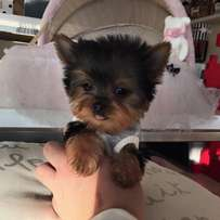 Very small, beautiful and healthy teacup or pocket size female Yorkie