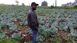 Cabbages Fresh ready for havest the year 2017//////january to march