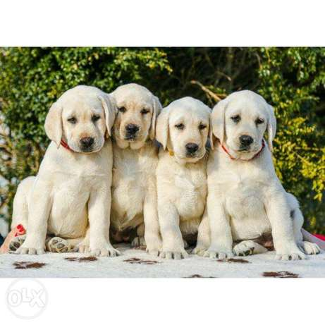 Labrador puppies, very beautiful, check banker is accepted.