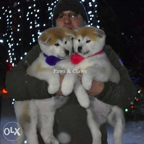 Purebred Akita Inu puppies are offered for sale! Born beautiful