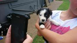 Six border collie pups for sale