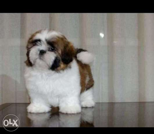 Premium quality shihtzu puppies, imported with all documents