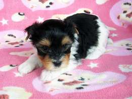 Beautiful morkies for sale