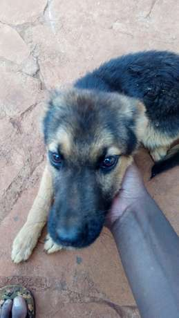 10000 ksh German Shepherd puppy Nyari - image 1