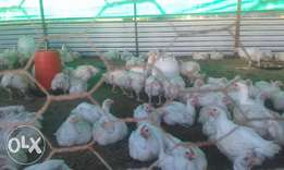 Quality Broilers for sale near Machakos