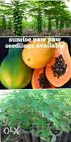 Improved Solo paw paw seedlings