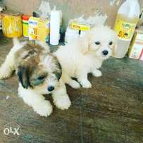 Lhasa also puppies for sale