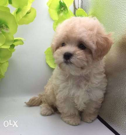 """The Cutest Imported Maltipoo Puppies """"Premium Quality"""""""