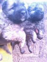 Cute 6 weeks old Caucasian Puppies for sale