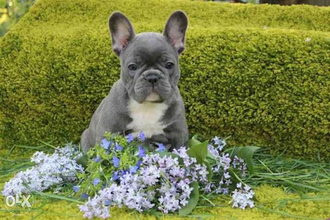 European French Bulldog Puppies Available Now Top Quality