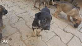 Female Puppies for sale or Trade (^o^)