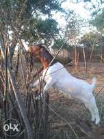 Boergoats for sale for breeding