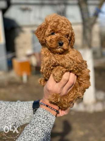 Chocolate poodle puppies, imported with all dcs.. Top quality
