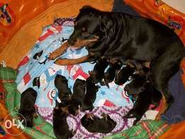 Very good and Affordable Rottweiler for puppies for sale in Abuja