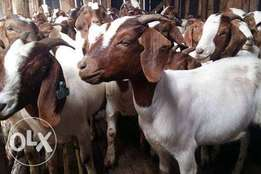 Goat meat and Mbuzi Available