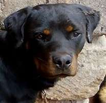rottweiler pedigree Mating services 12,000