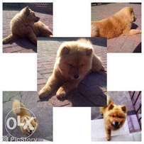 Chow puppy for sale.