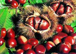 Organic Fresh Raw Sweet Chestnuts