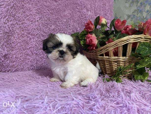 """Imported Male Shih Tzu puppies 2.5 months """"Top Quality"""""""