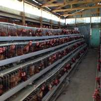 Chicken cage for 200 birds on offer