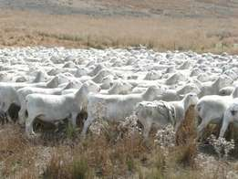 Dorper Sheep for sale R600