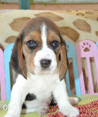 Amazing Beagle Imported From Ukraine with all documents