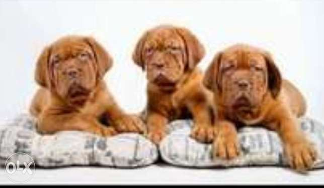 Imported French mastiff puppies.. Imported.. Males and females